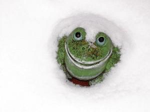 Zier-Frosch im Schnee